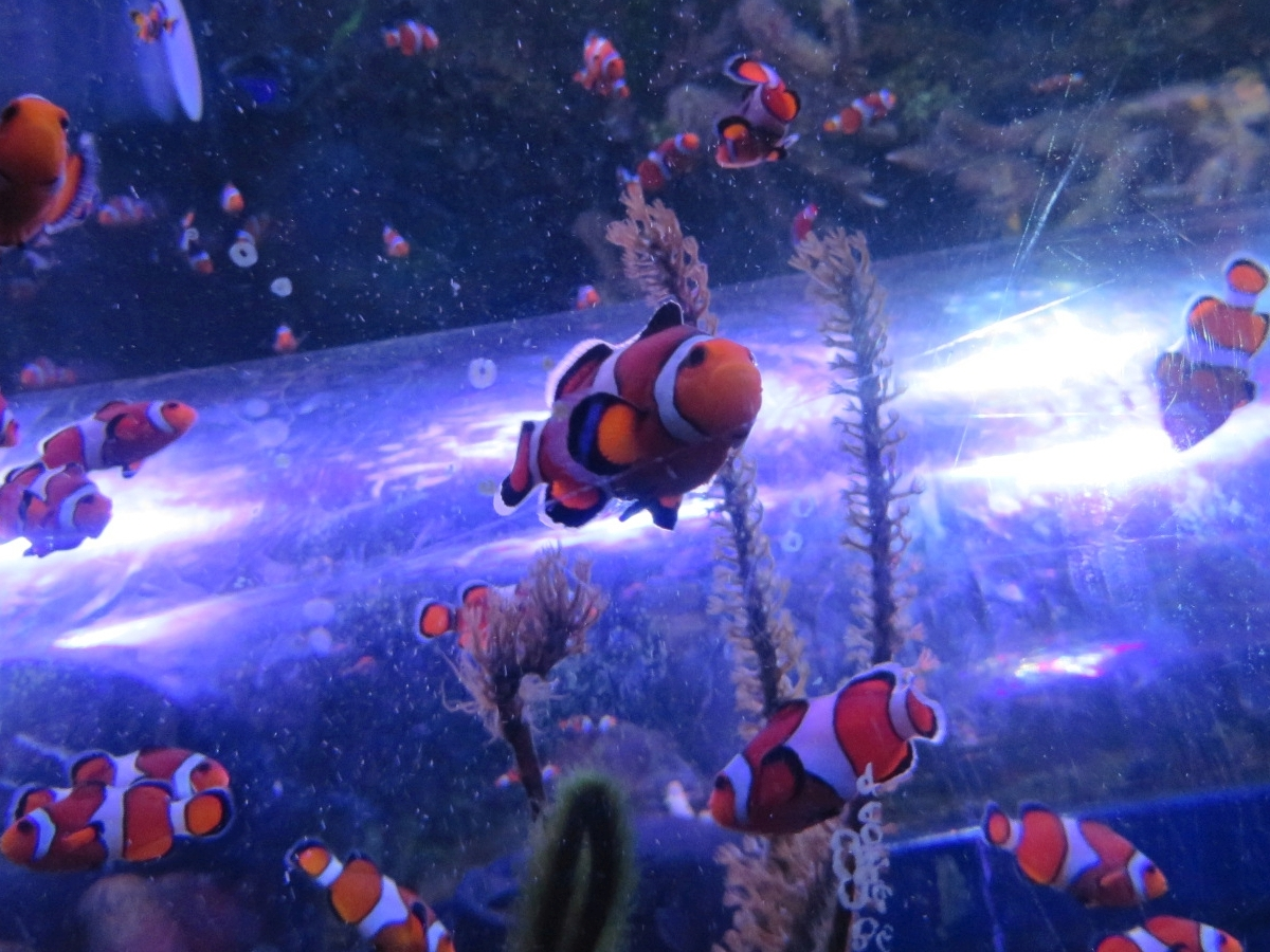 Do clownfish like Cadbury chocolate