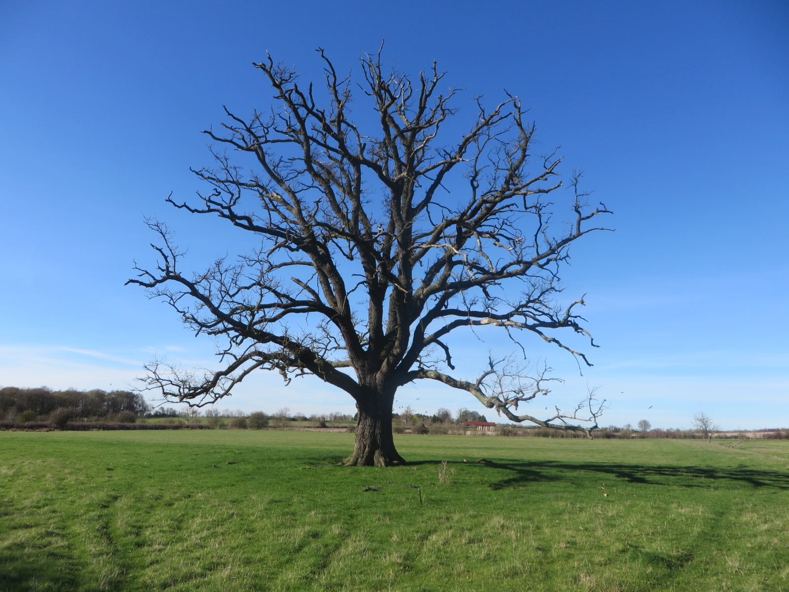 Old Tree at Honington